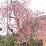 今年楽しませてくれた桜たち